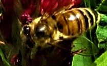 bee closeup on clover april 7