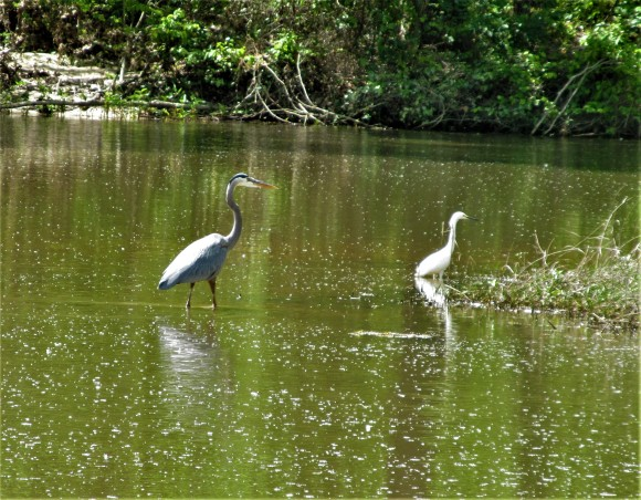 blue heron and egret pelahatchie bay april 20