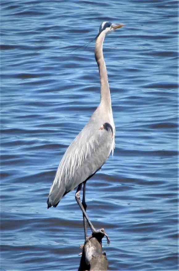 blue heron at reservoir overlook natchez trace