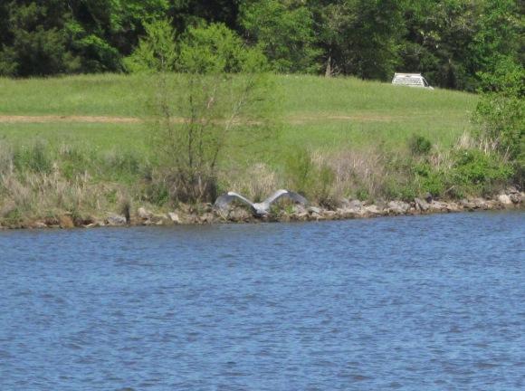 blue heron cropped
