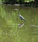 blue heron pelahatchie bay 1 april 12