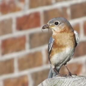 Bluebird with spider jess