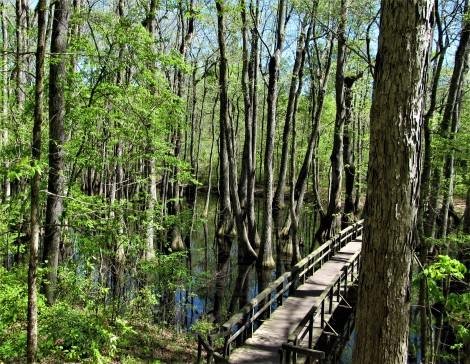 cypress swamp from left side march 31
