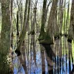 cypress swamp serenity april 7