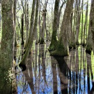 cypress swamp serenity april 7