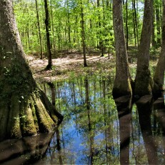 cypress swamp trees 1 march 31