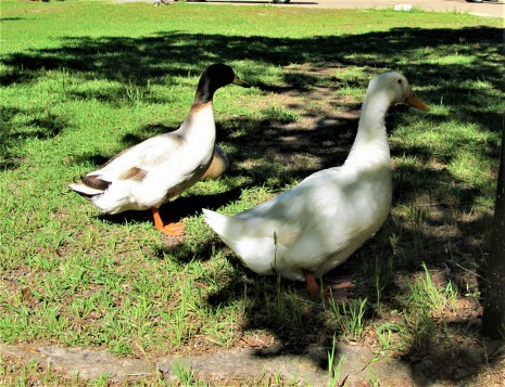 ducks in strawberry patch park april 23