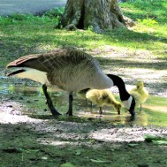 geese drinking water in strawberry park april 24