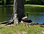 goose posing in strawberry pathch park april 24