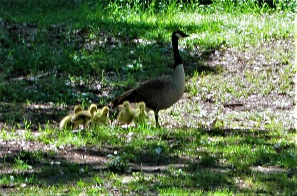 goose with babies april 26