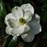 magnolia bloom april 21
