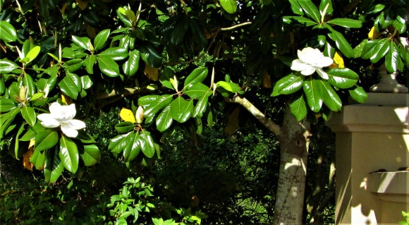 magnolia group blooms april 21