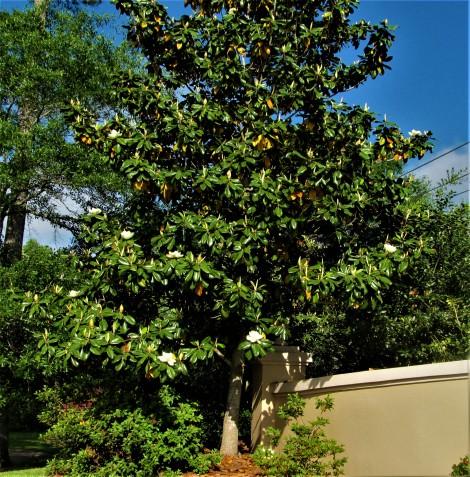 magnolia tree april 21