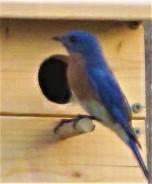 male bluebird april 10