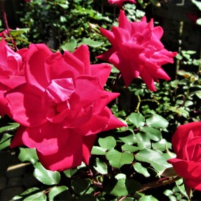 mom rose garden april 1