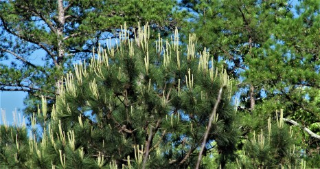 pine tree in bloom april 1