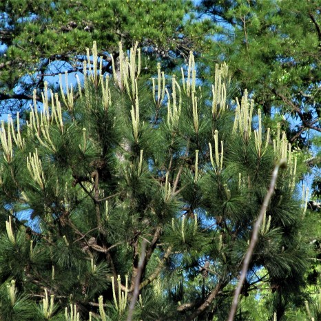pine tree in bloom april 1