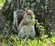 squirrel eating grass in park march