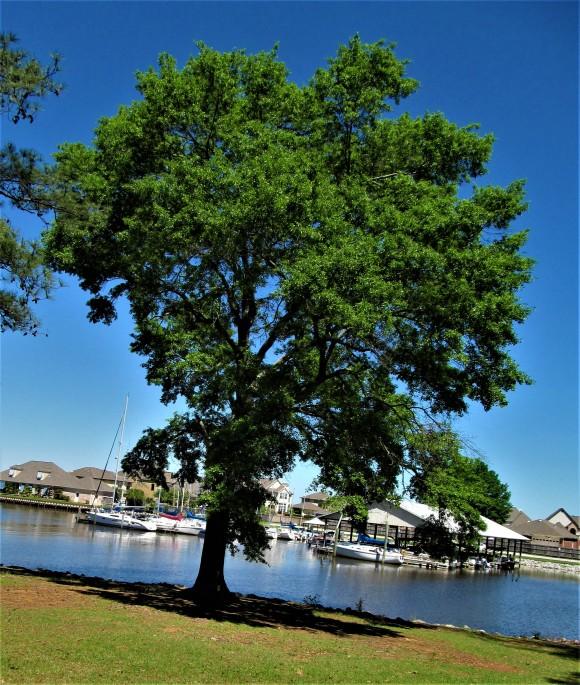 tree in lakeshore park april 26