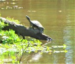 turtle sunning strawberry patch park april 24