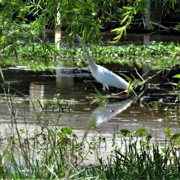 white egret pelahatchie bay april 12