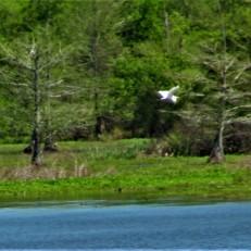 bird in flight river bend natchez trace march 31