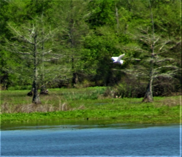 bird in flight river bend natchez trace march 31