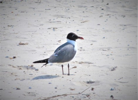coastal bird ms gulf coast may 9