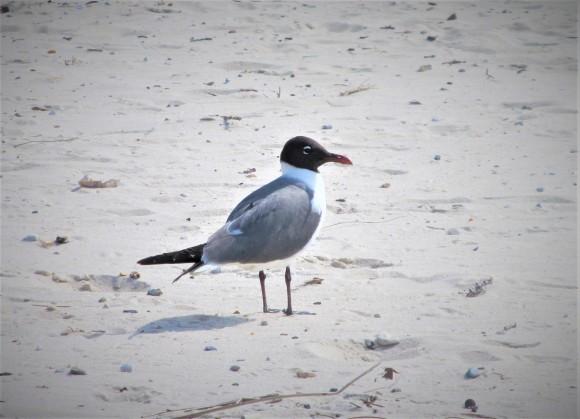 coastal bird ms gulf coast may 9