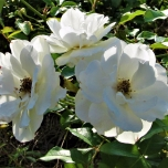cropped-white-flowers-at-ms-art-museum-april-20