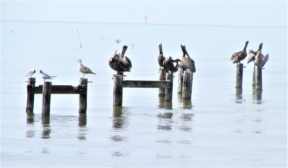 pelicans on pier ms gulf coast may 9