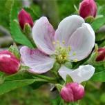 apple bloom 2 april 14