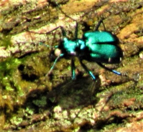 blue bug 2 petrified forest april 14