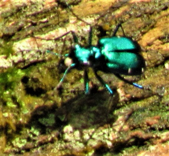 blue bug 2 petrified forest april 14