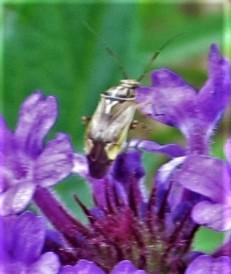 bug on a purple wildflower april 3