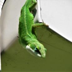 green lizard 6 april 4
