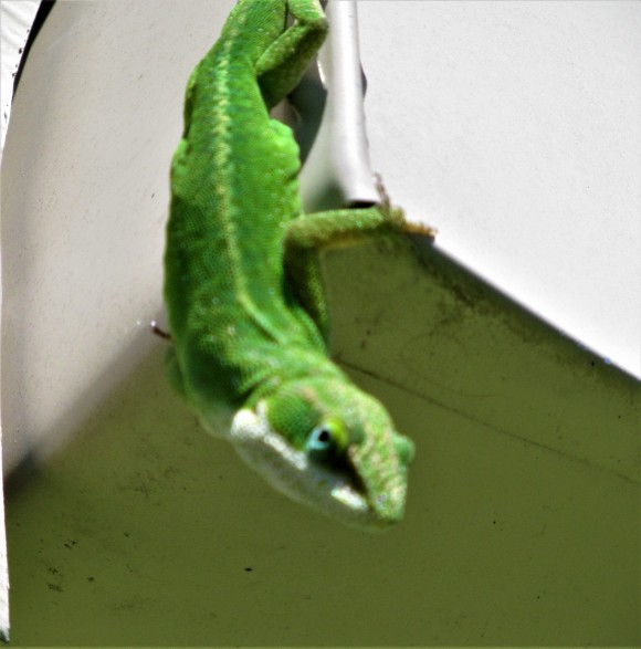 green lizard 6 april 4