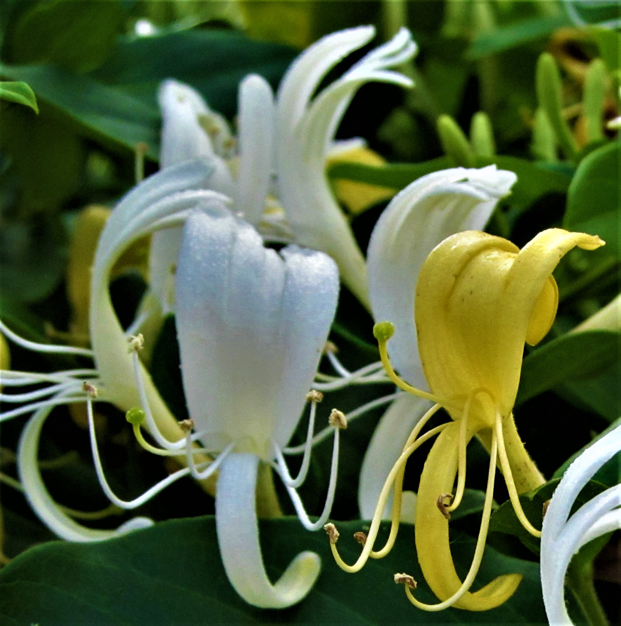 Honeysuckle blooming closeup