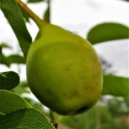 small pear 2 april 14