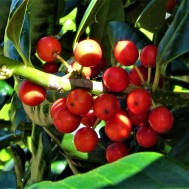 holly berries in the yard 2 april 6