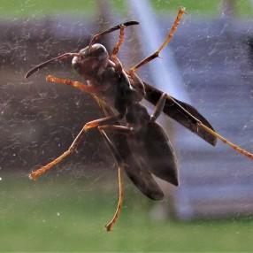 full wasp